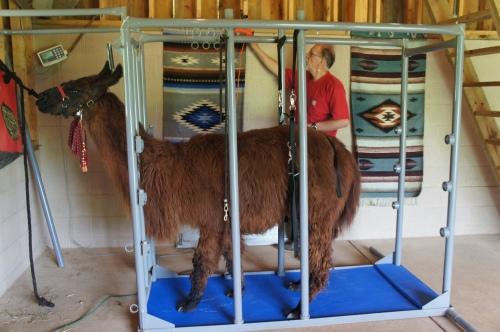Shearing Santiago