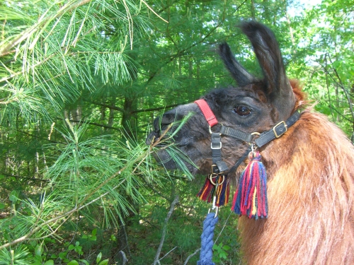Santiago eats pine needles