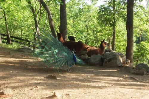 displaying-for-llamas