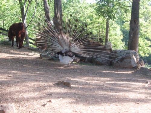 Llamas ignore peacock