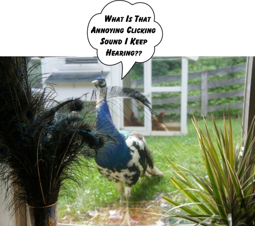 peeping peacock