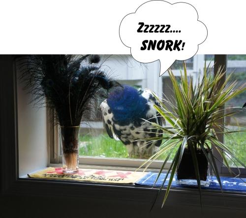 snorking peacock