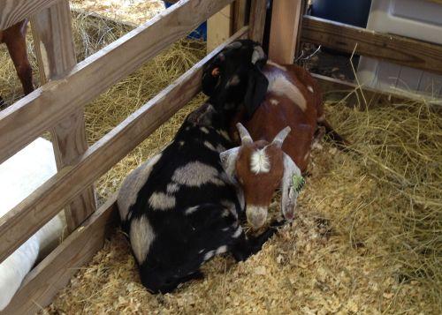 snuggley goats