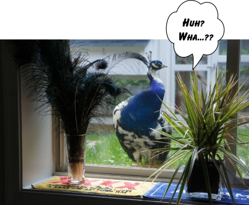 waking peacock