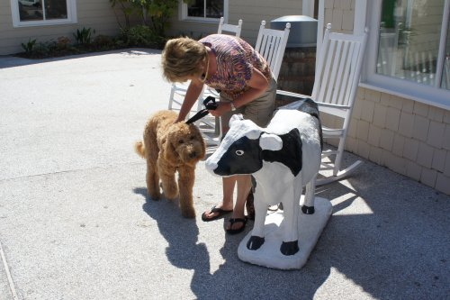 meeting cow