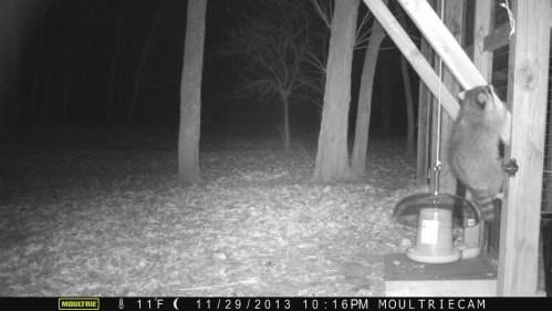 climbling raccoon 1