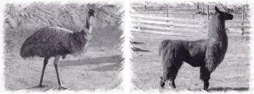 emu vs llama