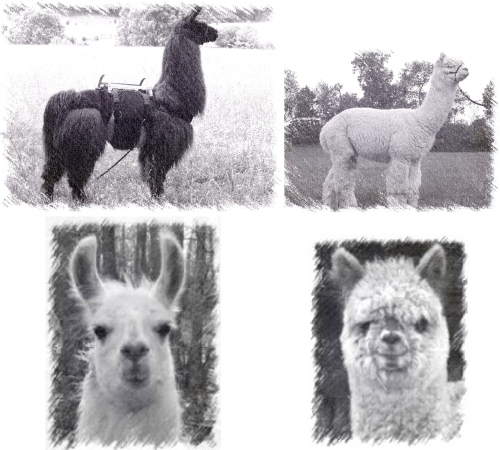 llama vs alpaca. jpg