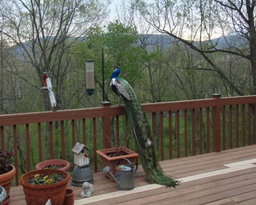 Farina at bird feeder 1