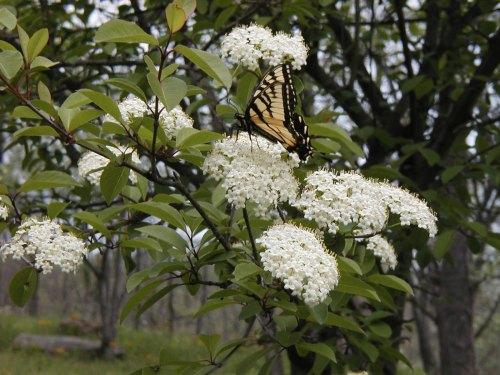 Swallowtail on Hawthorne