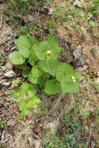 Garlic Mustard in the Wild