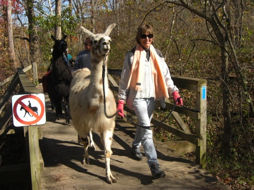 Llamas on the trail